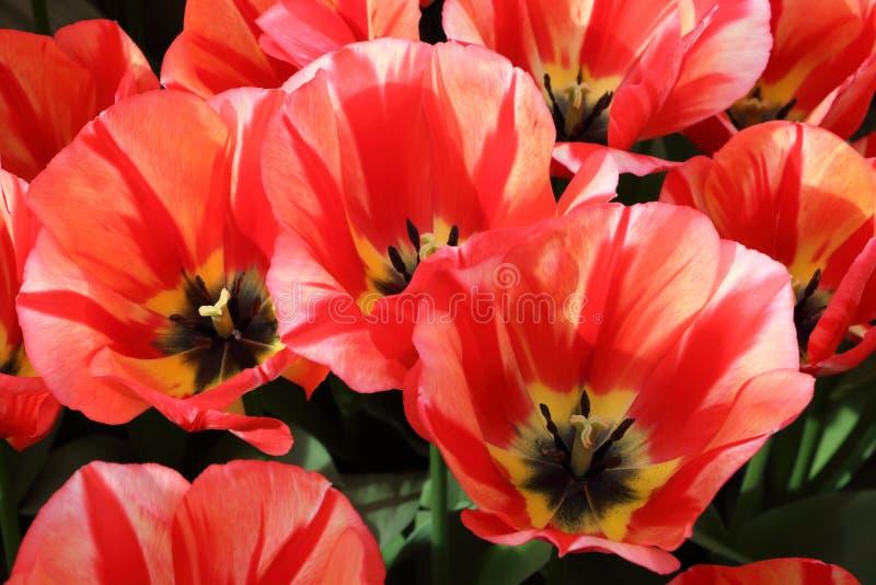 Bei tulipani dalla fine dell'Olanda su fotografie stock libere da diritti