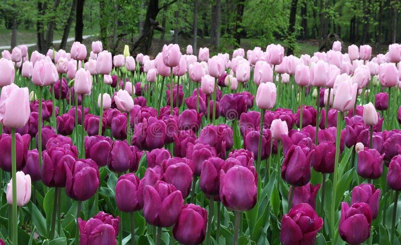 Bei tulipani del fondo nella porpora immagini stock