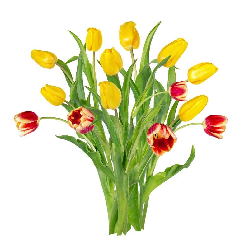 Bei tulipani gialli e rossi vivi sui gambi lunghi con le foglie verdi in un mazzo Mazzo dei fiori della sorgente fotografia stock
