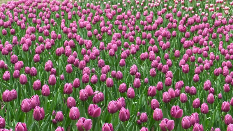 bei tulipani porpora nel letto di fiore fotografia stock libera da diritti