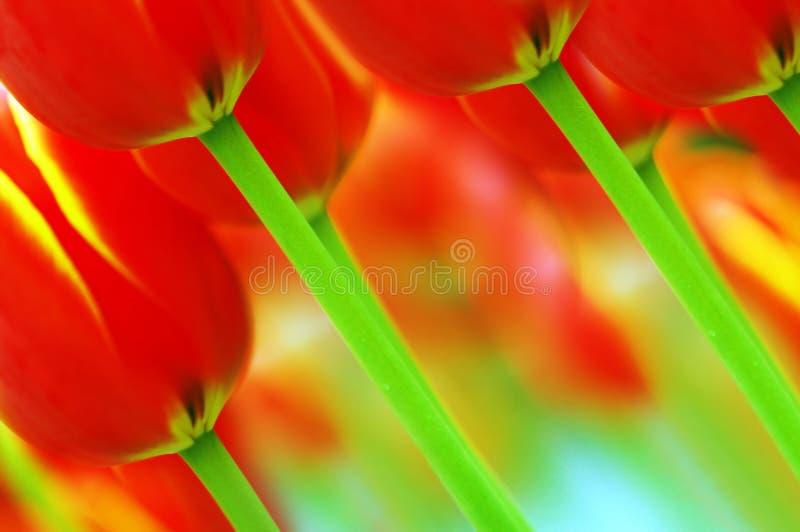 Bei tulipani rossi fotografie stock