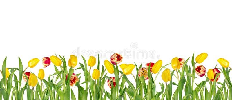 Bei tulipani rossi e gialli vivi sui gambi lunghi con le foglie verdi in confine senza cuciture Isolato su priorità bassa bianca fotografie stock libere da diritti