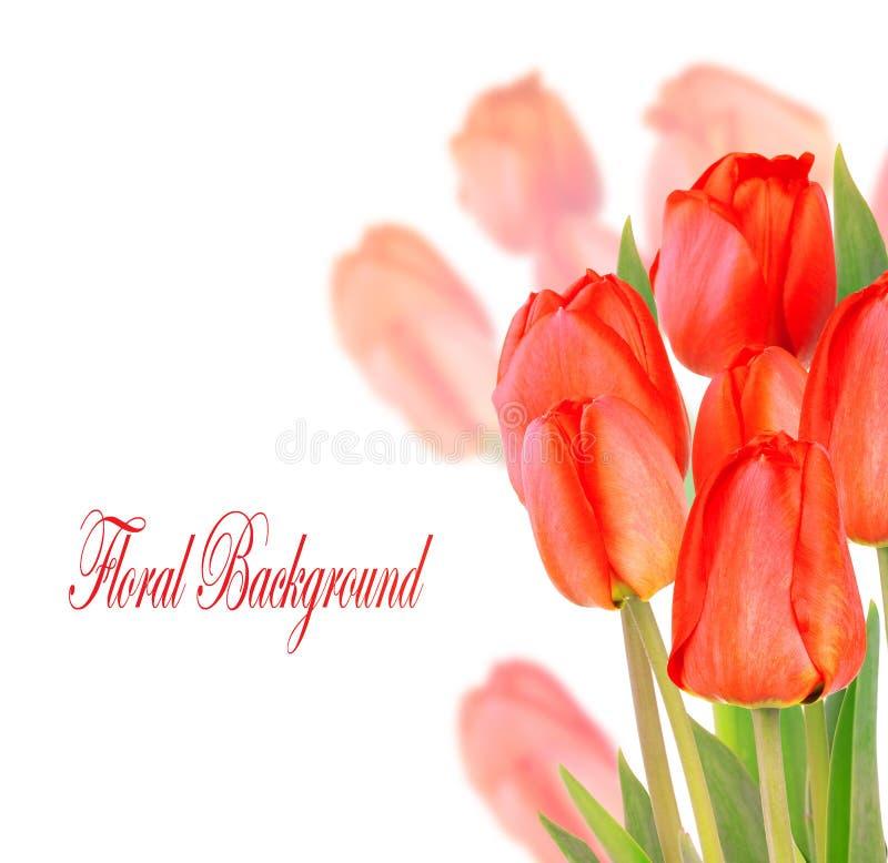 Bei tulipani isolati su fondo bianco fotografie stock libere da diritti