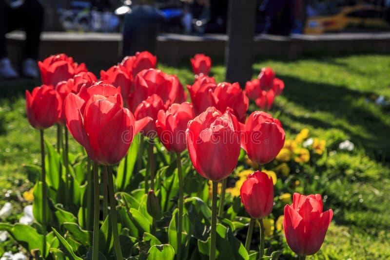 Bei tulipani sulle vie di grande citt? fotografie stock