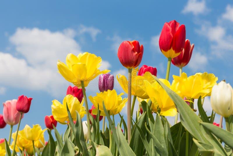 Bei tulipani variopinti contro un cielo blu con le nuvole fotografie stock libere da diritti