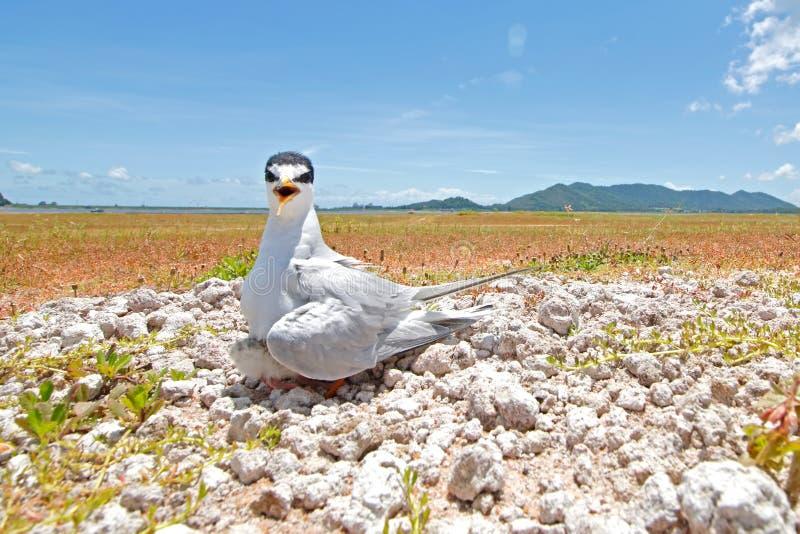 Bei uccelli dei piccoli della sterna albifrons di Sternula della Tailandia immagine stock libera da diritti