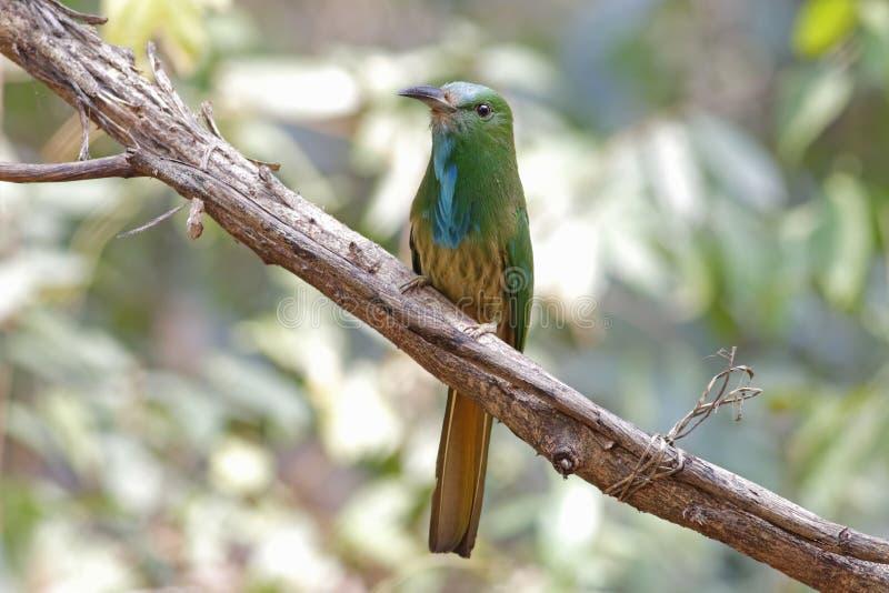 bei uccelli del Ape-mangiatore di athertoni Blu-barbuto di Nyctyornis della Tailandia fotografia stock