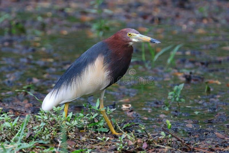 Bei uccelli dello stagno dell'airone di Bacco cinese di Ardeola della Tailandia immagine stock