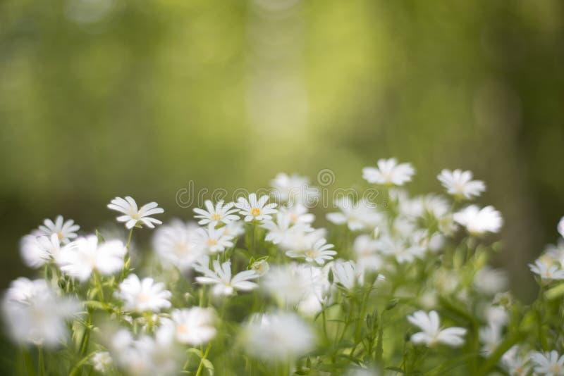 Bei wildflowers teneri bianchi in primavera immagini stock libere da diritti
