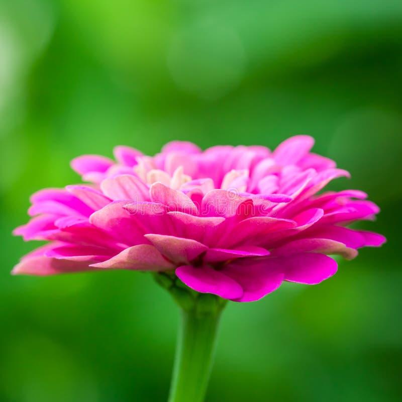 Bei Zinnias di fioritura fotografia stock