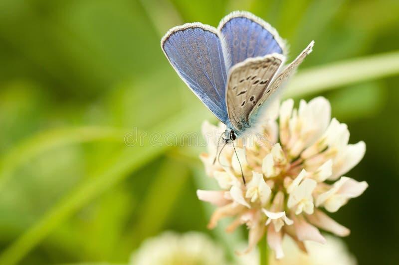 Beiga-blått liten fjäril royaltyfria bilder
