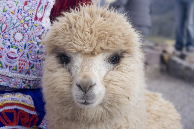 Download Beige Alpaca stock image. Image of fluffy, americas, mammal - 20053339