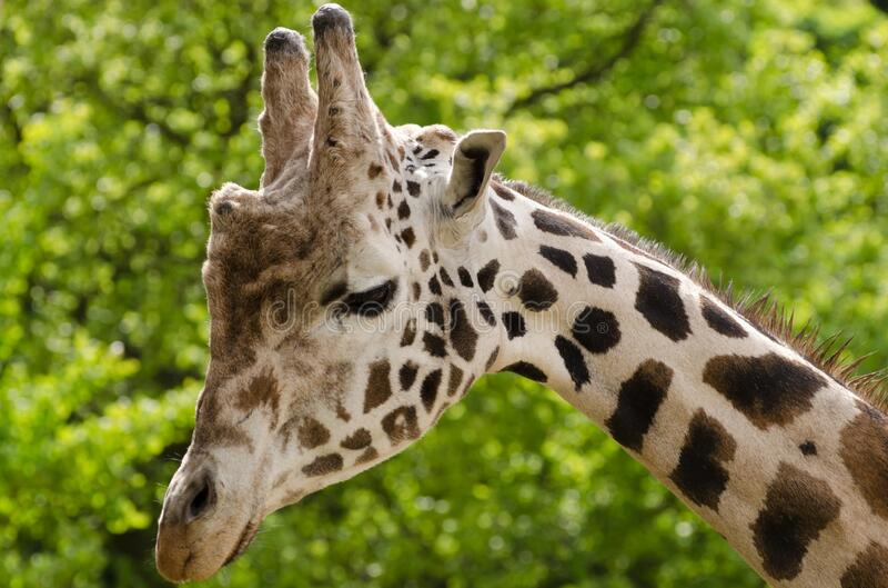 Beige and Black Giraffe Photo stock image