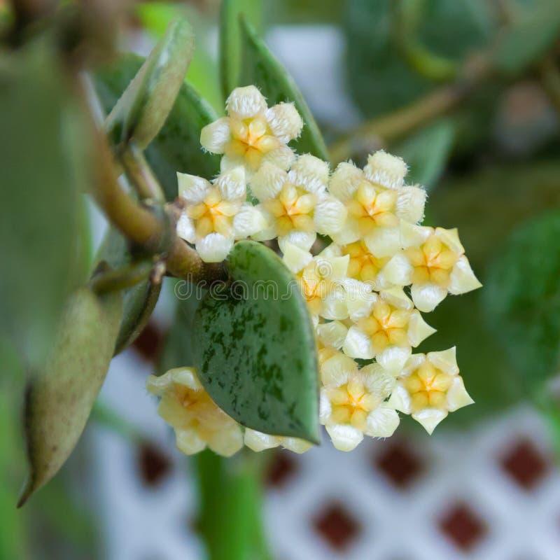 Beige bloemen van hoya installatie royalty-vrije stock afbeeldingen