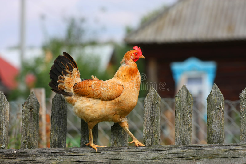 Download Beige chiken stock photo. Image of descriptive, green - 6333470
