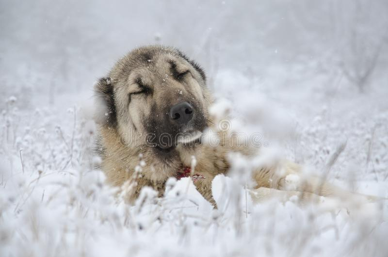 Beige color Sivas Kangal dog sleeping in snow. royalty free stock image