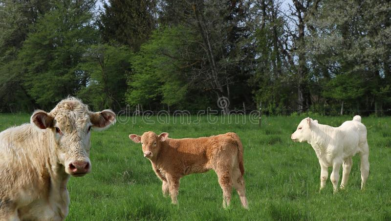 Beige cow in the meadow with two calves stock photography