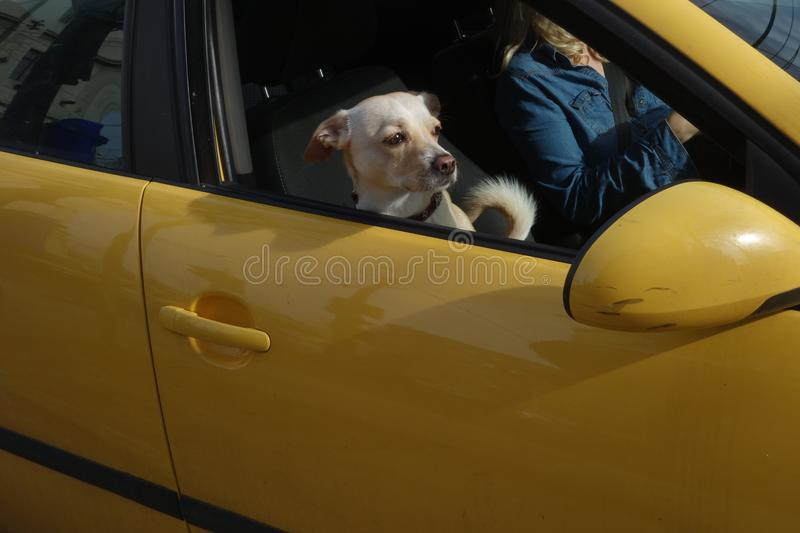 Dog looking out of car window. Beige crossbred medium sized dog standing on front seat of car looking out of the window stock photography