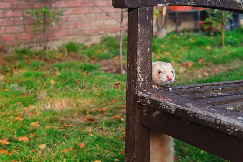 Beige ferret standing near wooden old bench and enjoying free walk in the garden. Home pet concept. Selective focus. copy space royalty free stock photography