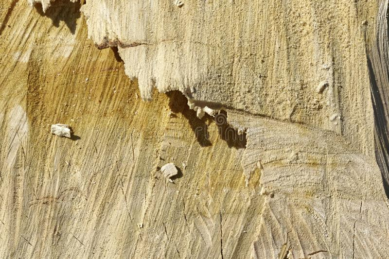 Beige fine grained textured wood trunk of a cutted tree royalty free stock photo