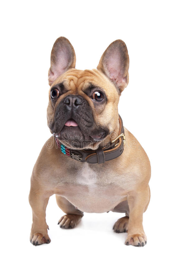 Download Beige French Bulldog stock photo. Image of background - 24560666