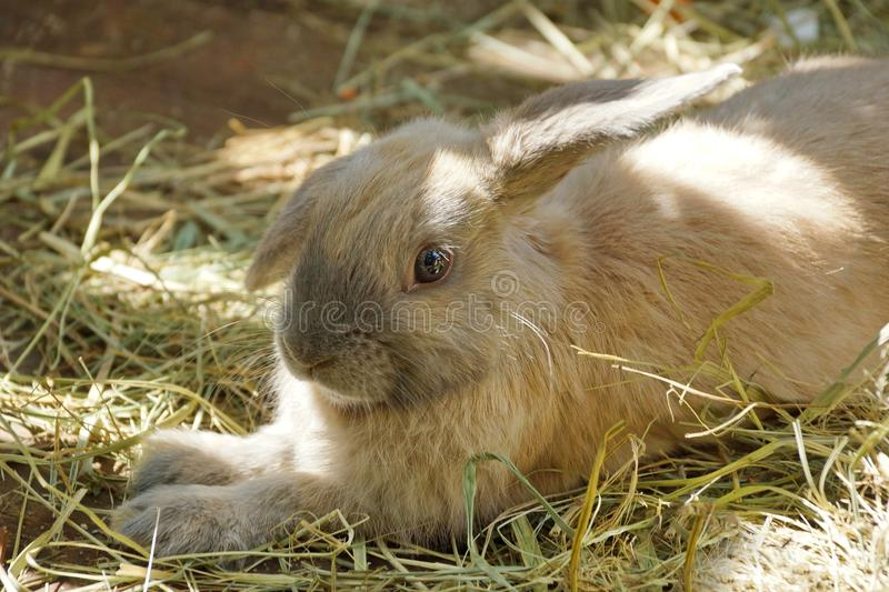 Beige gray rabbit lying in the grass. Look at you. Cute fluffy e stock photo