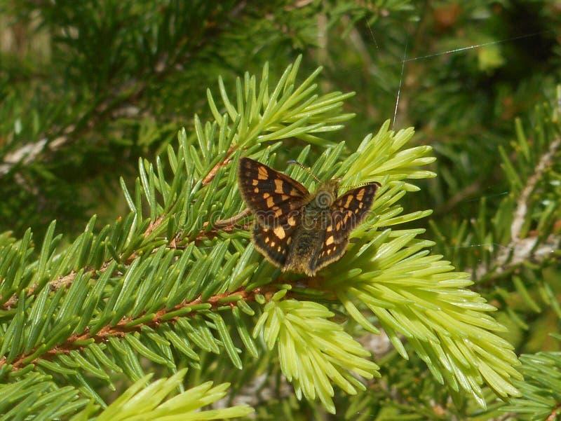 Beige grisonnant de brun de papillon de capitaine sur un arbre de spruche photographie stock