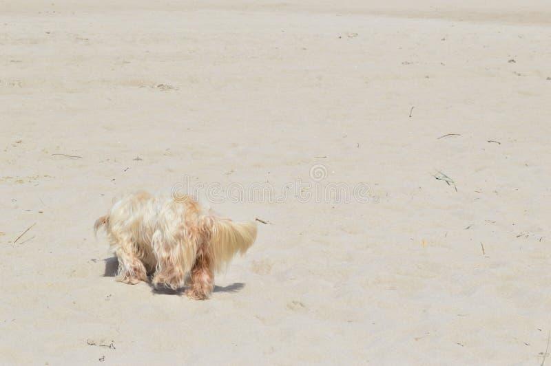 Beige Hund auf dem beige Strand stockbild