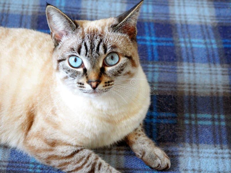 Beige kat die op een plaid liggen royalty-vrije stock afbeeldingen