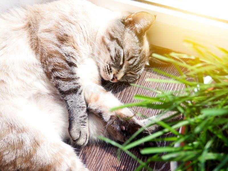 Beige Katze, die an der Sonnenstelle schläft stockfotos