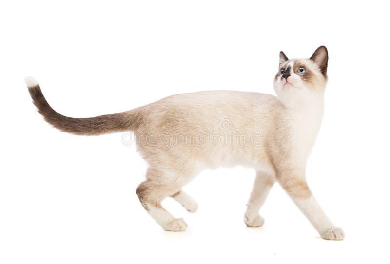 Beige kitten walking and looking up stock photo