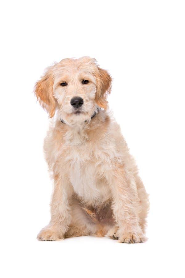Beige Labradoodle-hond stock afbeeldingen