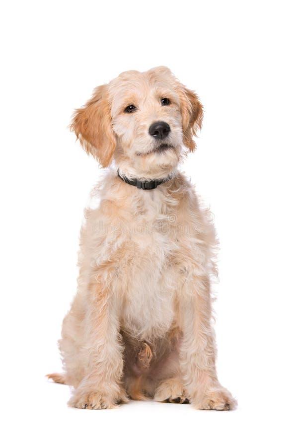 Beige Labradoodle-hond royalty-vrije stock foto