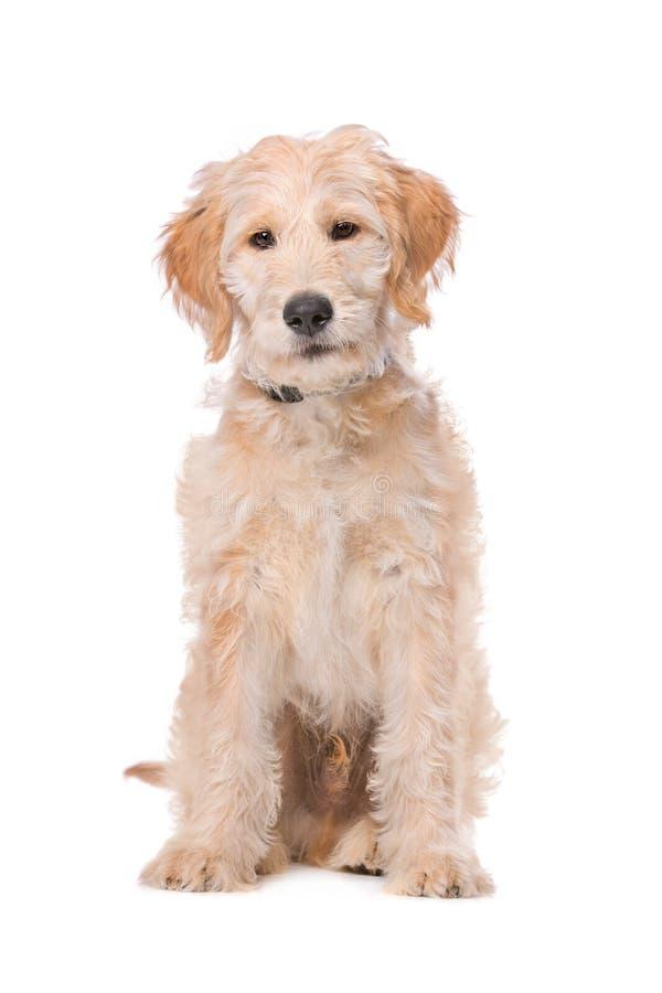 Beige Labradoodle-hond royalty-vrije stock afbeelding