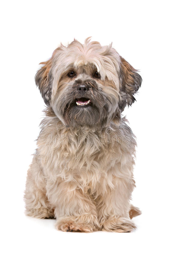 Beige Labradoodle-hond stock fotografie