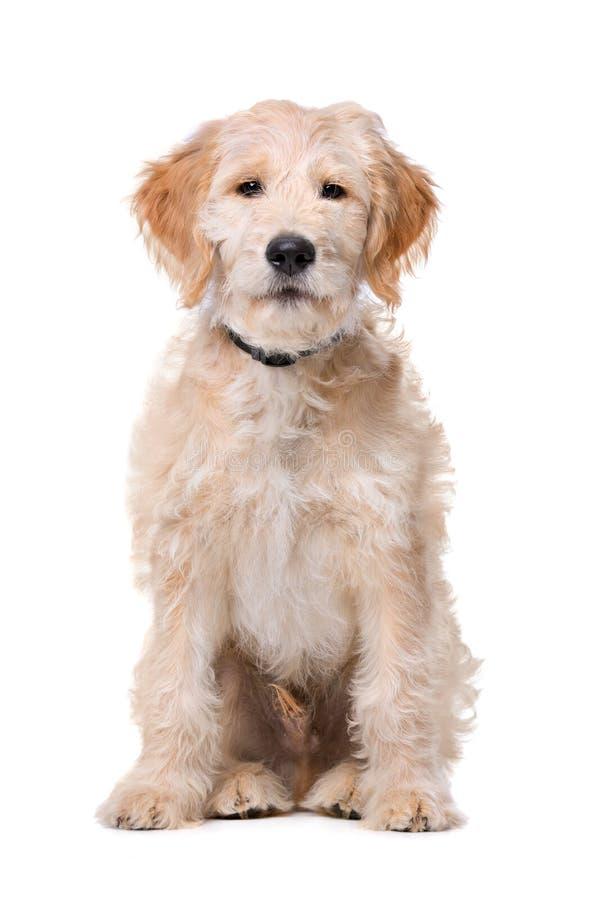 Beige Labradoodle-hond royalty-vrije stock foto's