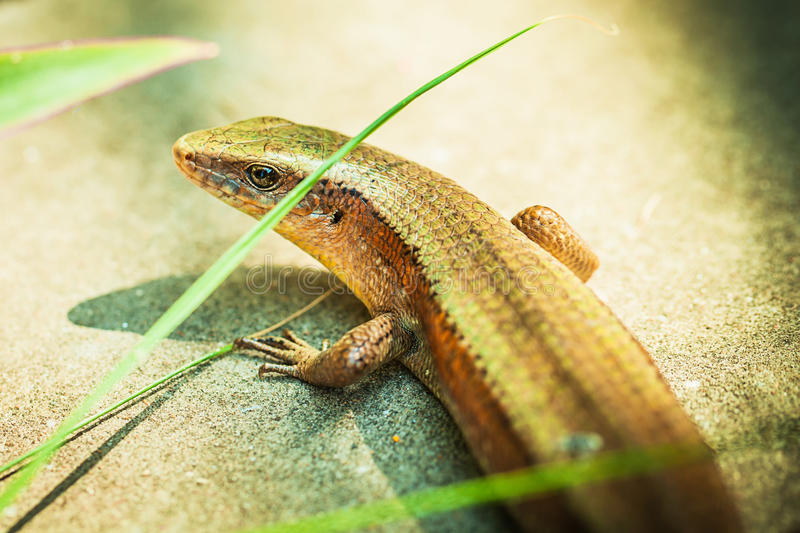 Beige lizard. On a asphalt road with green leaves stock photos