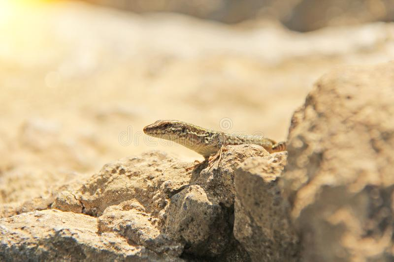 Beige Lizard Sits On A Stone royalty free stock image