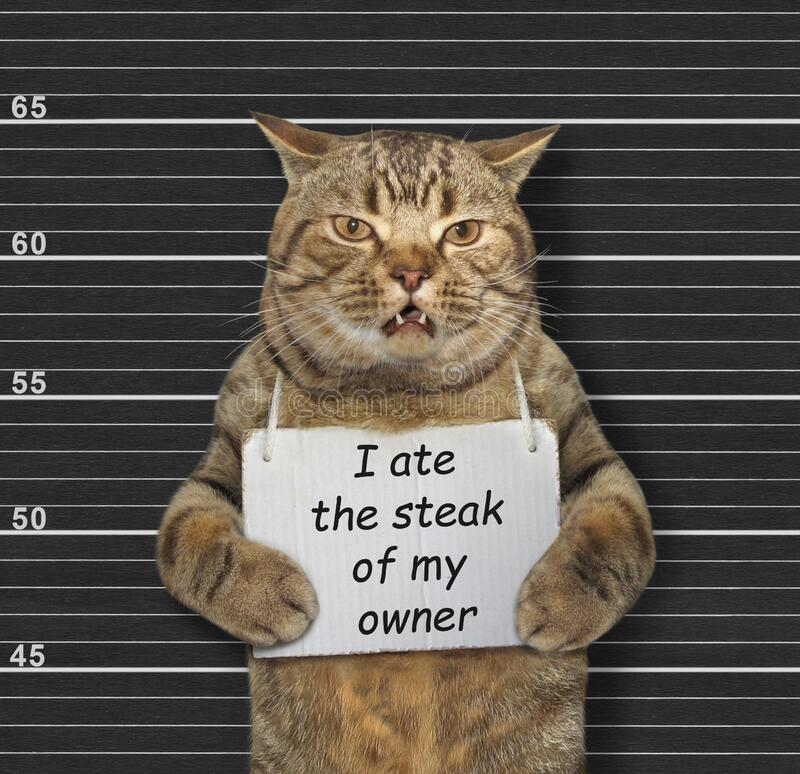 Naughty cat ate steak. The beige naughty cat was arrested. He has a sign around its neck that says I ate the steak of my owner. Lineup black background stock image