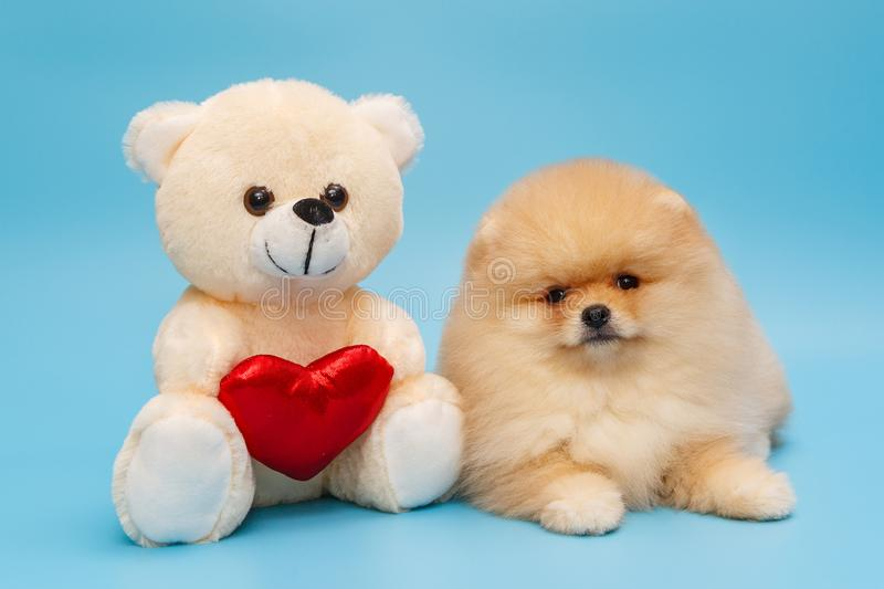 Beige Pomeranian puppy and a toy bear. On a blue background stock photography