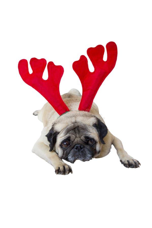 Beige Pug die Kerstmiskledij 7 dragen royalty-vrije stock foto