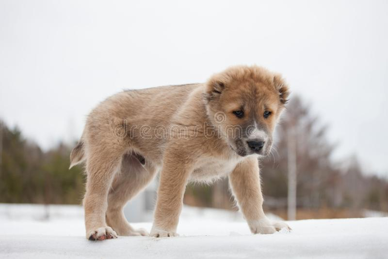 Beige puppy of breed Alabay on a background of winter nature. Central asian shepherd dog royalty free stock photo