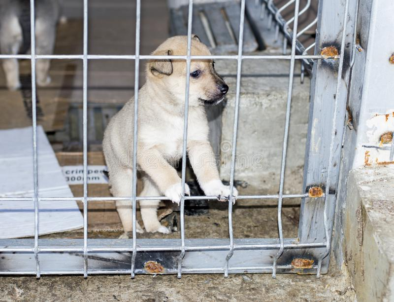 Beige puppy peeking through the bars at the shelter stock image