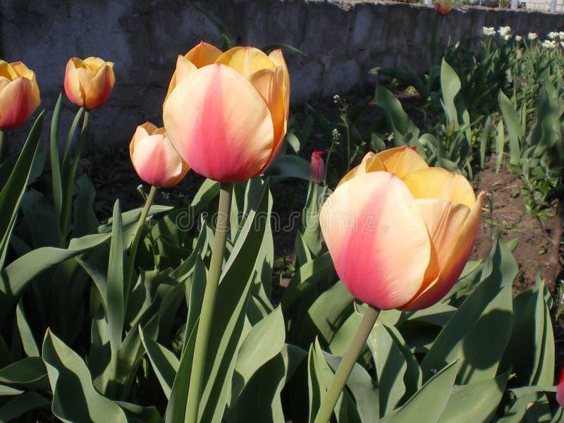 Beige rosa orange tulpanvariation Adrem arkivfoton