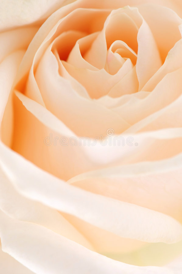 Beige rose. Delicate high key beige rose macro floral background royalty free stock images