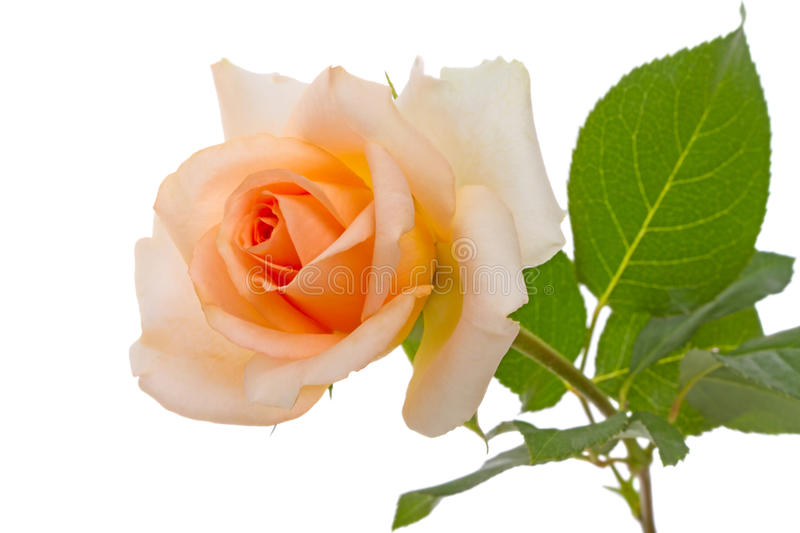 Download Beige rose on white stock photo. Image of beauty, bright - 49173682