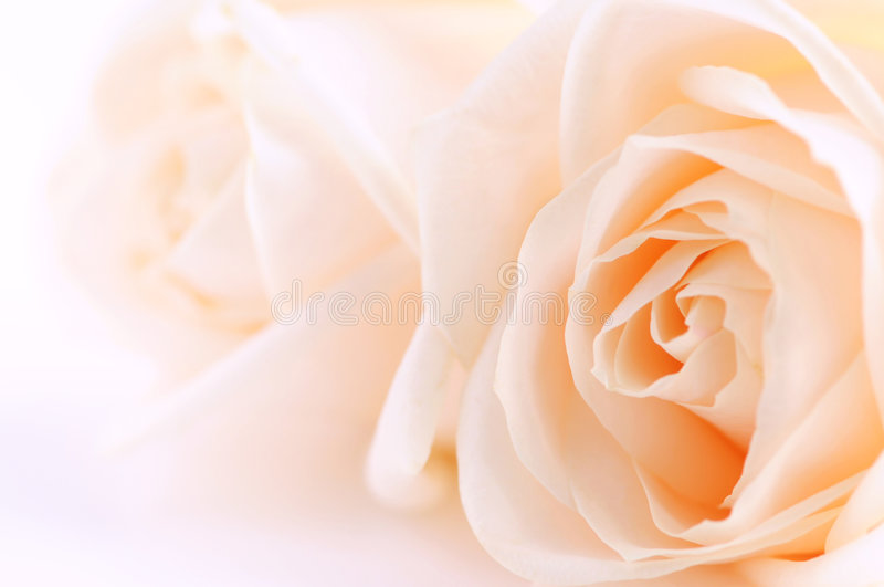 Download Beige roses stock image. Image of gentle, beauty, freshness - 4259127