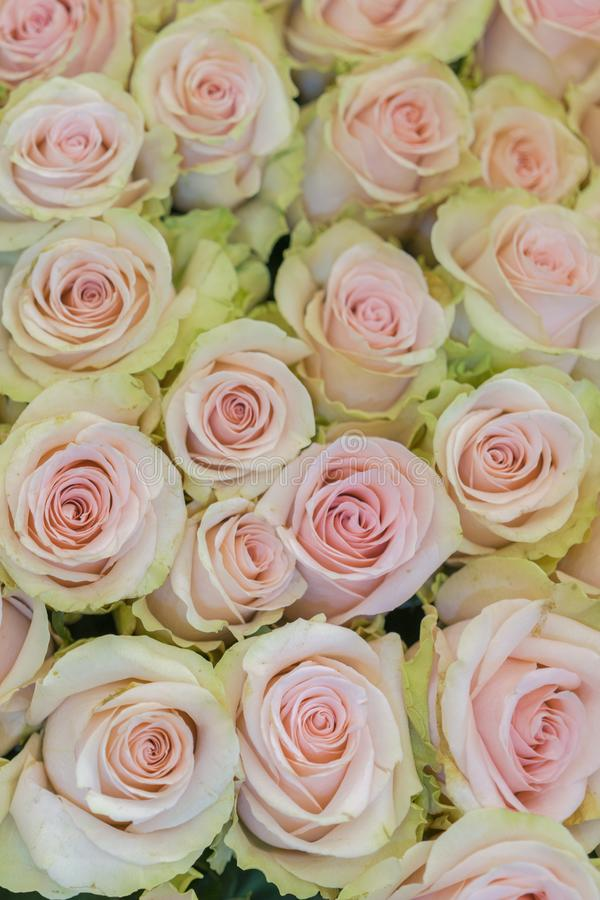 Beige roses background. White roses horizontal seamless pattern. White roses arrangement. vertical photo.  stock image