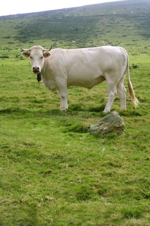 Beige schüchtert das Vieh ein, das in der grünen Wiese isst lizenzfreie stockfotografie