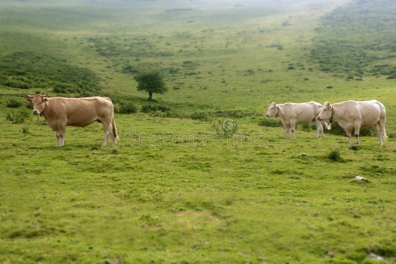 Beige schüchtert das Vieh ein, das in der grünen Wiese isst lizenzfreie stockfotos